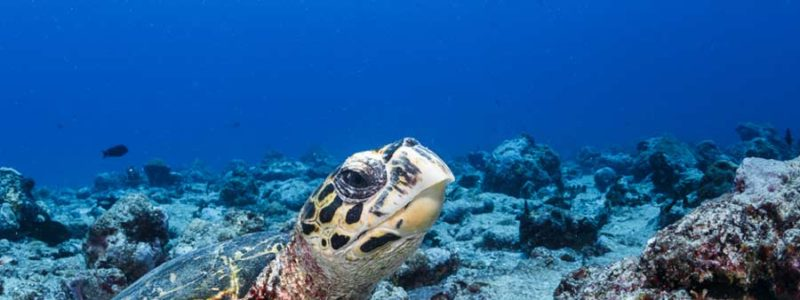 Hawksbill turtle resting on the bottom of the sea, Maldives. Photo.