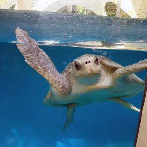Turtle patient Polina fully recovered and ready for release Maldives