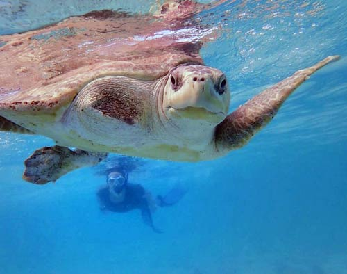 Sea turtle vet Claire swimming with turtle patient Penny in the sea