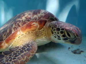 Green turtle Kamana at the ORP turtle rescue centre Maldives