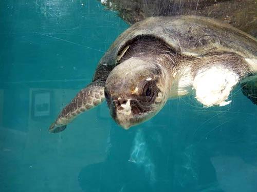 Olive ridley turtle patient Daniella ORP Rescue Centre Maldives
