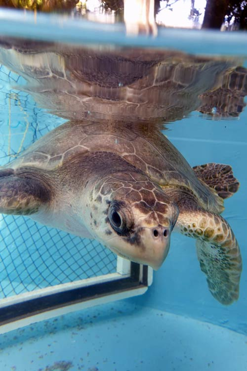 Turtle patient Eve after 7 months at the ORP Turtle Rescue Centre Maldives