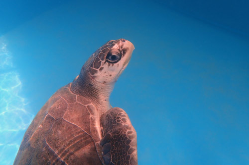 Olive ridley turtle patient Eve in the tank at ORP Turtle Rehab Centre, Maldives