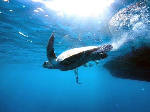Turtle patient Calypso back in the ocean after being released, Maldives