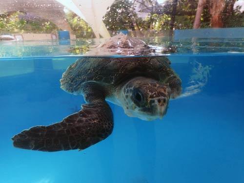 Baby olive ridley turtle patient Artemis ORP Marine turtle rescue centre Maldives