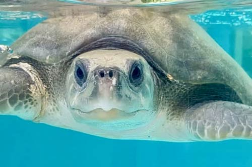 ORP Turtle Patient Update Issue 4|2019 | Olive Ridley Project
