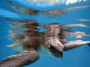 Olive ridley turtle ghost net victm Jamie ORP Marine Turtle Rescue Centre Maldives