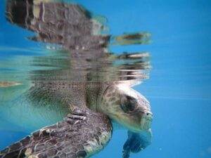 Olive ridley turtle patient Lynn at ORP Marine Turtle Rescue Centre Maldives
