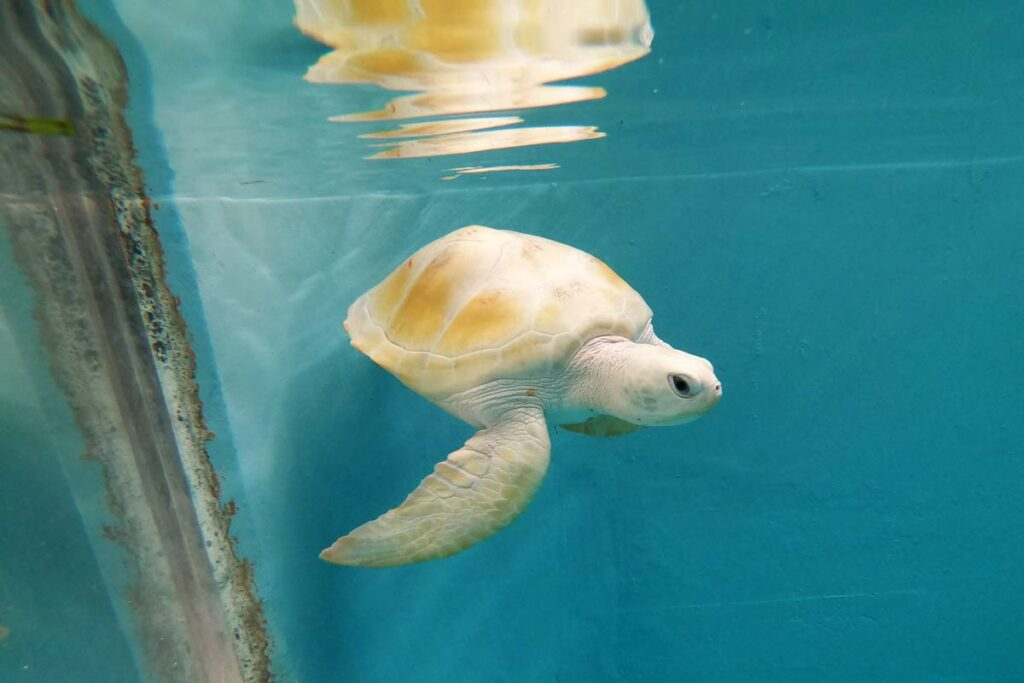 A rare white turtle, Maldives