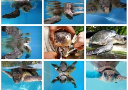 ORP Turtle Patient Update Issue 3|2019