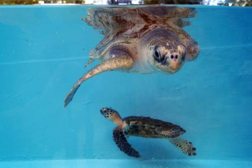 Turtle best friends Arti & Kaushell at ORP Turtle Rescue Centre