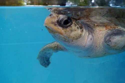 Olive Ridley turtle patient Arti, ORP Turtle Rescue Centre, Maldives