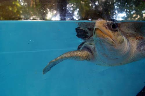 Olive Ridley turtle patient Arti coming up for air, ORP Turtle Rescue Centre, Maldives