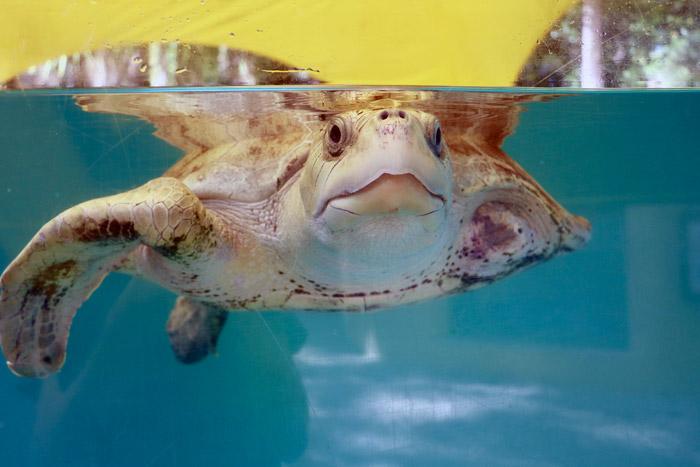 Turtle patient Azura in her tank.