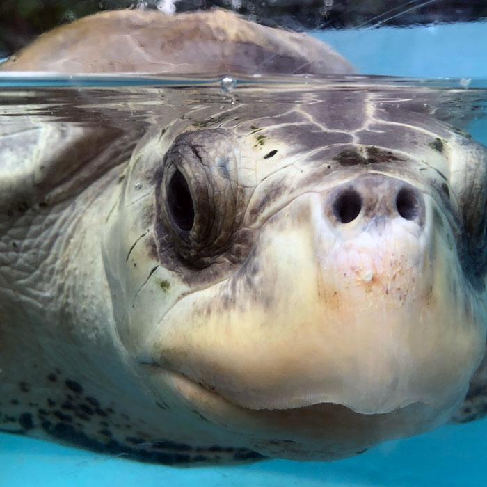 close-up of turtle patient Azura. Image.