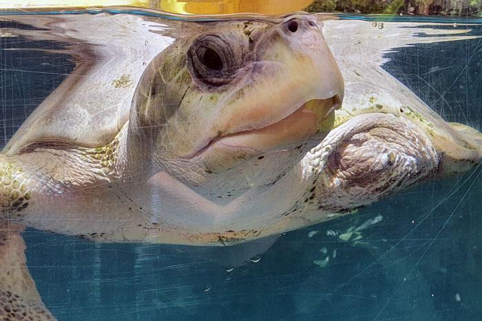 Turtle patient Azura closup. Image.