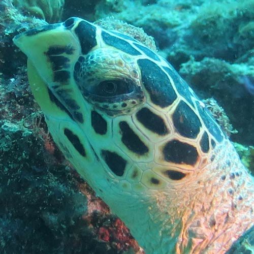 Hawksbill turtle having recovered from high barnacle cover