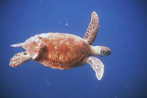 Green turtle with a sea cucumber hitchhiker, Maldives