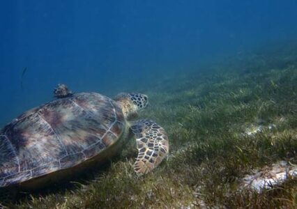 Sea Turtle Hitchhikers – The Symbiotic Relationships of Sea Turtles