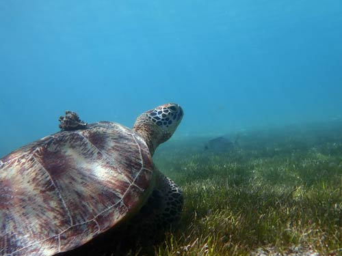 Green turtle Beag with a snail hitchhiker Maldives