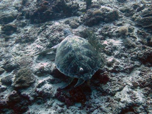 Sea turtle with a single barnacle, Maldives, image
