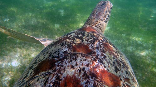 Sea turtle with embedded barnacles which can cause damage to the host turtle