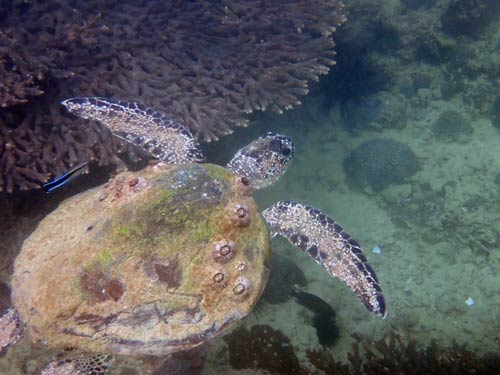 Green turtle with excessive barnacles, Oman, image