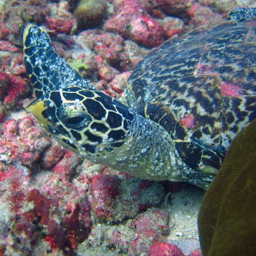 Turtle with high barnacle cover on face Maldives