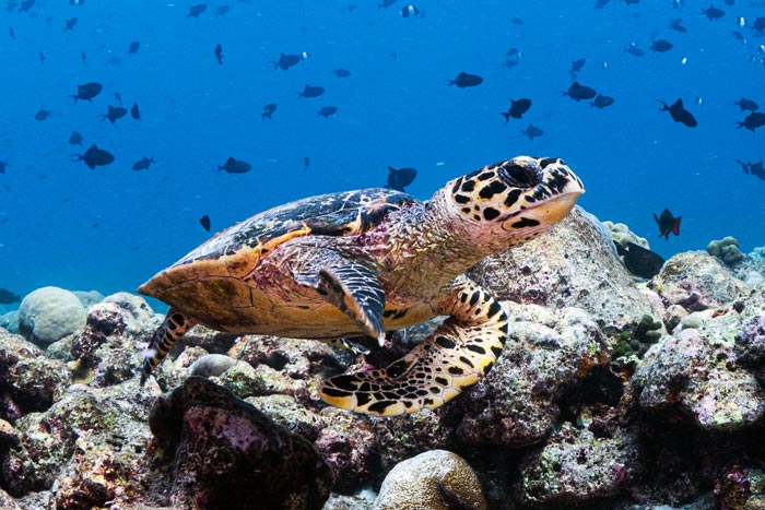 Adopt a turtle. Hawksbill, Maa Giri, Lhaviyani Atoll, Maldives. Image.