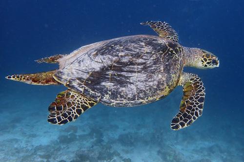 Male hawksbill turtle, long tail, Kuredu Express, Lhaviyani Atoll, MaldivesImage.