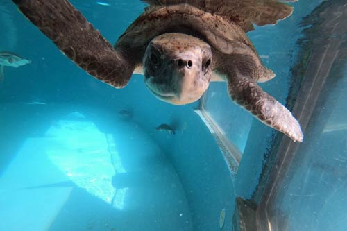 urtle patient Florence fully recovered and ready to be released