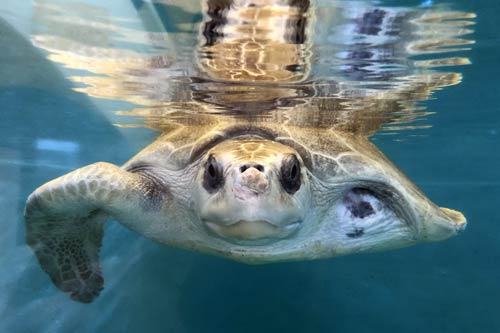 Olive ridley turtle patient Azura at the ORP Turtle Rescue Centre in Maldives.