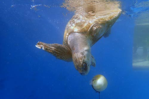 Turtle patient Azura practising diving with a buoy at ORP Turtle Rehab Centre, One & Only Reethi Rah, Maldives