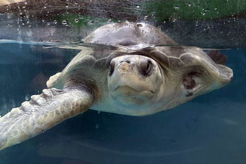 Turtle patient Azura post surgery to remove proliferative tissue on her nose