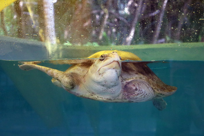 Turtle patient Azura coming up for air, ORP Rescue Centre. Image.