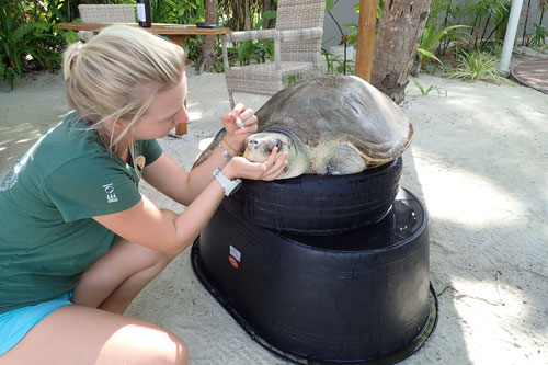 Turtle patient Azura getting an injection from Sea Turtle Biologist Laura