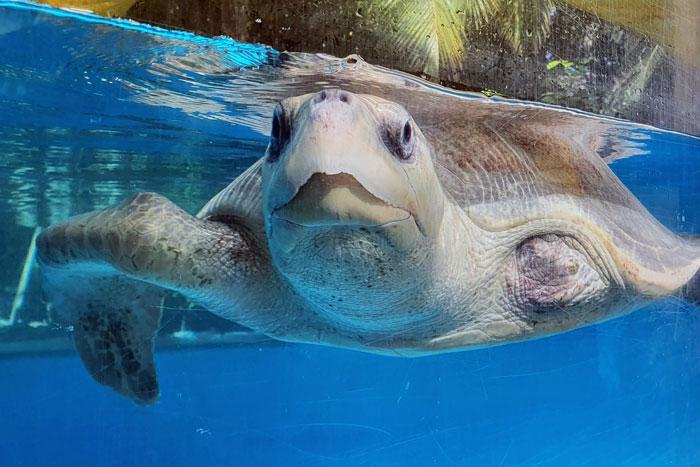 Turtle patient Azura in her tank. Image.