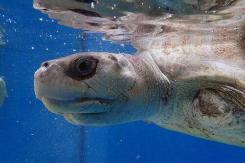 Left profile of turtle patient Azura at ORP Turtle Rehabilitation Centre, Maldives. Image.