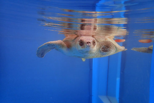 Olive ridley turtle patient Azura in her tank, ORP Turtle Rehab Centre, Maldives