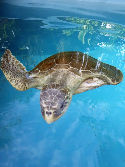 Turtle patient Joy at the ORP Turtle Rescue Centre Maldives
