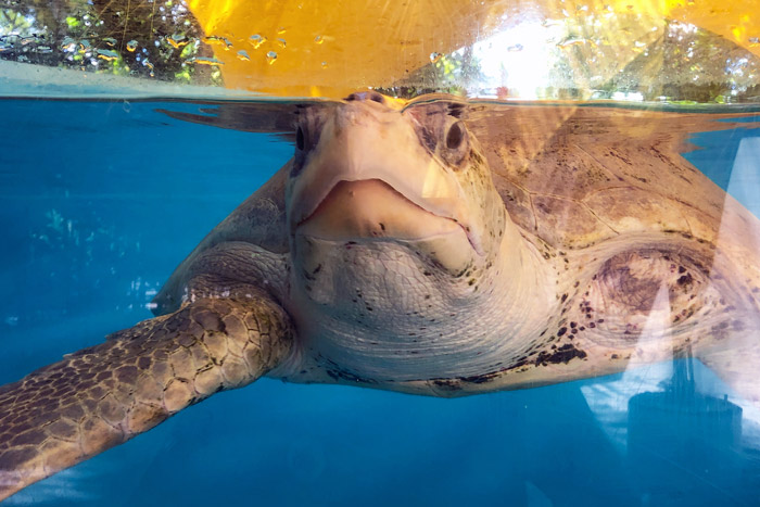 Turtle patient Azura with her chin up. Image.