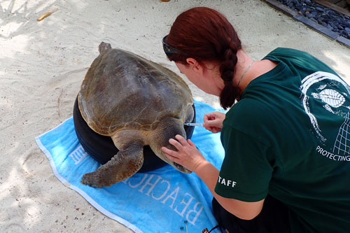 Vet Jackie checking out Azura at ORP One & Only Turtle Rehabilitation Centre