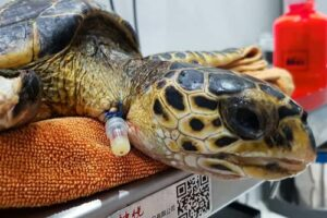 Hawksbill turtle patient Faith at the ORP rescue centre Maldives