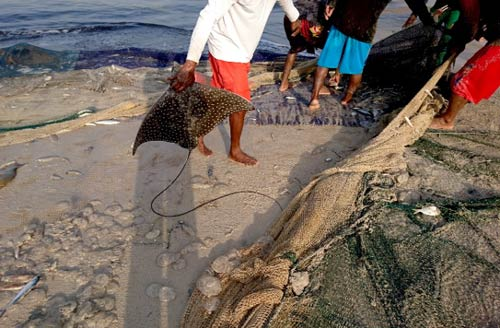 An eagle ray caught as bycatch in Oman was lucky to be alive and released back into the sea.