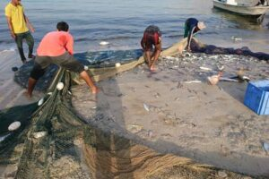 A fishing net with a turtle, eagle ray and guitar fish caught as bycatch beeing pulled up on the beach, Oman