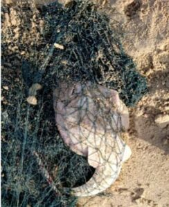A guitar fish caught as bycatch in Oman did not survive