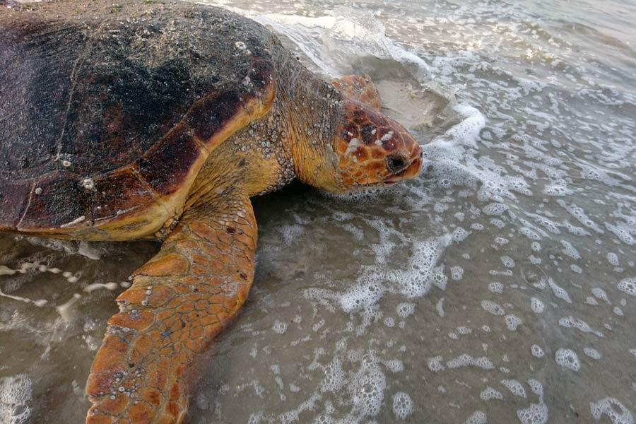 Loggerhead turtle in Oman. Image.