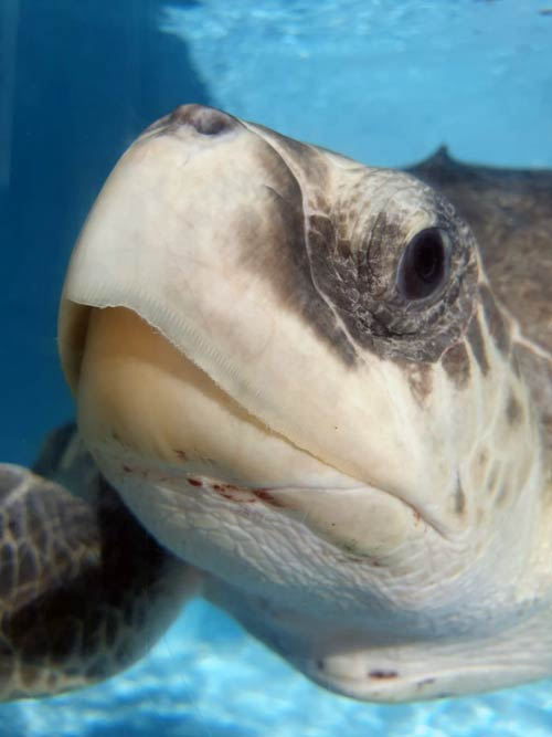 Close up of turtle patient Elba ORP Rescue Centre Maldives