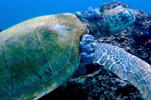The impact of pollution on sea turtles. Pollutants building up in tissue over time could lead to immuno-suppression (often associated with fibropapillomatosis disease). A green sea turtle with fibropapillomatosis tumors in Kenya