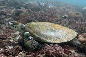 Green turtle with fibropapillomatosis tumors in Kenya